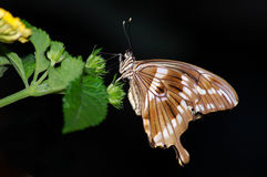 Isolated Swallowtail Stock Image