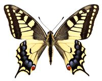 Isolated swallowtail stock photo