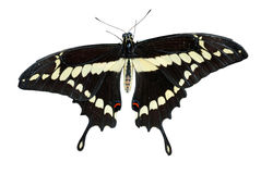 Isolated Swallowtail butterfly. On a white background stock image