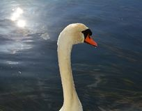 Isolated swan is swimming on the lake. Portrait