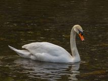 Isolated swan is swimming in warm water. Italy royalty free stock photo