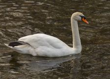 Isolated swan is swimming in warm water. Italy stock image