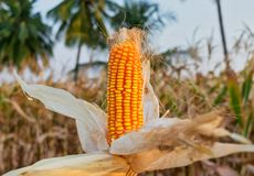Isolated sweet corn grown in Indian agriculture field stock images