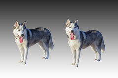 Isolated syberian husky dogs with sticking the tongue out Stock Images