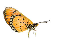 Isolated Tawny Coster transform on white. With clipping path royalty free stock image