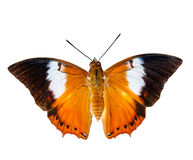 Isolated Tawny Rajah butterfly on white Royalty Free Stock Photography