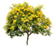 Isolated tecoma stans tree, the golden yellow trumpet vine flower blossom shrub specimen, on white background royalty free stock photo