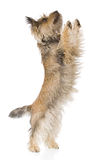 Isolated terrier Stock Image