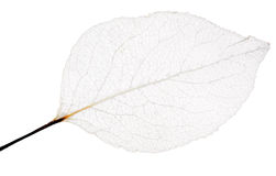 Isolated thin leaf skeleton Royalty Free Stock Photo