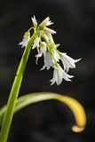 Isolated three-cornered leek flowers Stock Photo