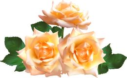 Isolated three light cream rose blooms Stock Images