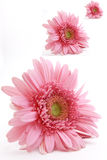 Isolated Three Pink Gerbera Royalty Free Stock Images