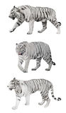 Isolated three white striped tigers stock image