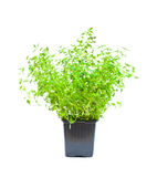 Isolated thyme plant in the pot Stock Images
