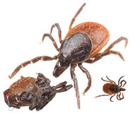 Isolated tick Stock Photo