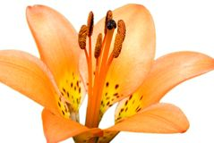 Isolated Tiger Lily Royalty Free Stock Images