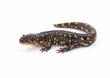 Isolated Tiger Salamander. Photograph of a Tiger Salamander isolated against a white background royalty free stock images