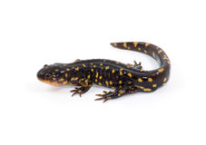 Isolated Tiger Salamander. Photograph of a Tiger Salamander isolated against a white background Stock Image