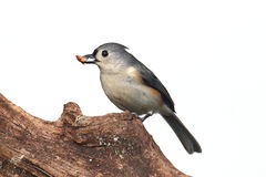 Isolated Titmouse On A Stump Stock Photo