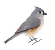 Isolated Titmouse Stock Image