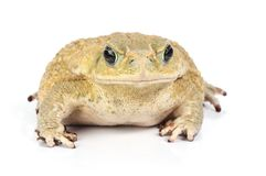 Isolated toad Royalty Free Stock Images