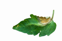 Isolated tomato leaf infected by plant plague in the white background. Phytophtorosis of the tomato plant, plant disease concept Royalty Free Stock Photography