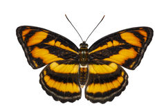 Isolated top view of colour segeant butterfly ( Athyma nefte ) o. N white with clipping path royalty free stock images