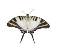 Isolated top view of five bar swordtail butterfly royalty free stock photos