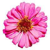 Isolated top view of pink Zinnia flower Stock Image
