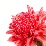 Isolated torch ginger flower Royalty Free Stock Photos