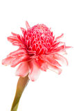 Isolated torch ginger flower Stock Photo