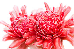 Isolated torch ginger flower Stock Image
