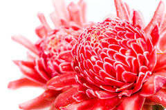 Isolated torch ginger flower Royalty Free Stock Photography