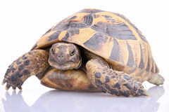 Isolated tortoise Stock Photography