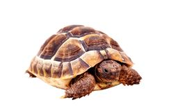 Isolated Tortoise Royalty Free Stock Images