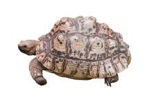 Isolated Tortoises Stock Photography