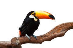 ISOLATED TOUCAN Royalty Free Stock Images
