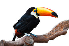 ISOLATED TOUCAN. A isolated toucan with white background is standing on a trunk royalty free stock photos
