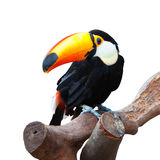 Isolated toucan. A isolated toucan with white background stands on the trunk stock photos