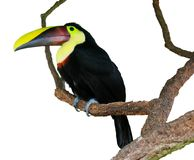 Isolated Toucan on a tree Royalty Free Stock Photos