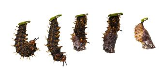 Isolated transformation from caterpillar to chrysalis of great e. Isolated transformation from caterpillar to chrysali of great eggfly butterfly Hypolimnas royalty free stock photography