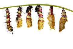 Isolated transformation from caterpillar to chrysalis of Leopard. Isolated transformation from caterpillar to caterpillar to chrysalis of Leopard lacewing royalty free stock images