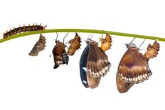 Isolated transformation from caterpillar to great eggfly butterfly ( Hypolimnas bolina Linnaeus ) on white. Isolated transformation from caterpillar to great stock image