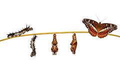 Isolated transformation caterpillar to pupa of commander butterfly resting on twig. Isolated transformation caterpillar to pupa of commander butterfly & x28 royalty free stock images
