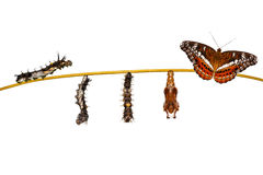 Isolated transformation caterpillar to pupa of commander butterfly resting on twig. Isolated transformation caterpillar to pupa of commander butterfly & x28 stock image