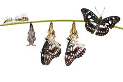 Isolated transformation from chrysalis of Black-veined sergeant Royalty Free Stock Photography