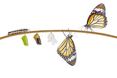 Isolated transformation of common tiger butterfly emerging from. Cocoon on twig with clipping path Stock Photo