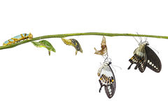 Isolated transformation life cycle of banded swallowtail butterf. Ly Papilio demolion from caterpillar with clipping path Stock Photo