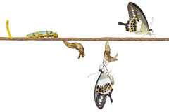 Isolated transformation life cycle of banded swallowtail butterf Stock Image
