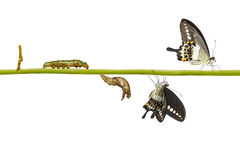 Isolated transformation life cycle of banded swallowtail butterf. Ly Papilio demolion from egg to caterpillar with clipping path stock images